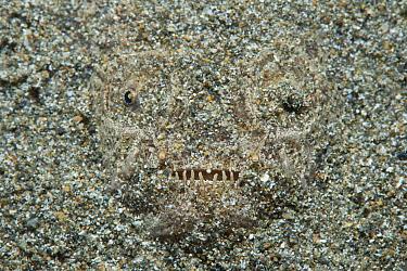 White margin stargazer (Uranoscopus sulphureus) lies hidden in the sand, Anilao, Batangas, Luzon, Philippines. Verde Island Passages, Pacific Ocean.