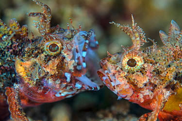 Mozambique scorpionfish (Parascorpaena mossambica) two males disputing territory on the seabed, yawning is a threat display, Dauin, Dumaguete, Negros, Philippines. Bohol Sea, tropical west Pacific Oce...