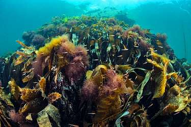 Two-spot gobies (Gobiusculus flavescens) school swims over Kelp (Laminaria sp). Porthkerris, Lizard Peninsular, Cornwall, UK, August