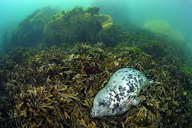 Grey seal (Haichaoerus grypus) large female adult sleeps in a bed of seaweeds (Fucus serratus) Lundy Island, Devon, England, UK Bristol Channel, August.