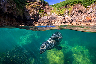 Grey seal (Haichaoerus grypus) split level view of young male swimming beneath the surface close to shore. Lundy Island, Devon, UK, Bristol Channel, August