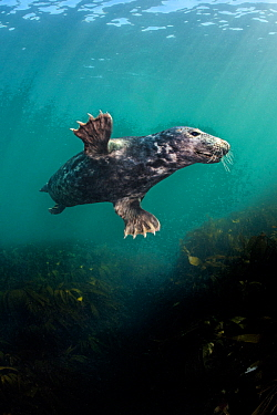 Grey seal (Halichoerus grypus) young male swims over a kelp forest (Laminaria hyperborea) Farne Islands, Northumberland, UK, North Sea, August