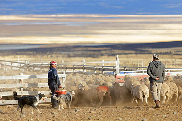 Shepherds with dogs  herding sheep into pen, Torres del Paine. Patagonia, Puerto Natales, Chile.