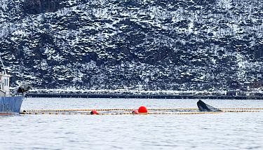 Humpback whale (Megaptera novaeangliae) caught inside fishing net used to catch Herring (Clupea harengus) Kvaloya, Troms, Norway, December