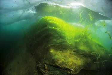 Thallus of filamentous algae (Spiragira and Ulothrix) under Ice, Lake Baikal, Siberia, Russia.