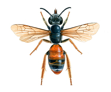 Mining bee (Andrena hattorfiana) illustration