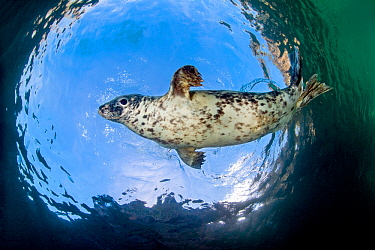 Grey seal (Halichoerus grypus) swimming above at surface, Lundy Island, Devon, UK, Bristol Channel August