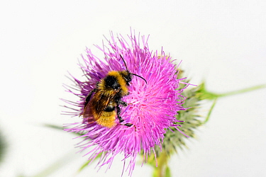 Field Cuckoo bumblebee (Bombus campestris) on Spear thistle (Cirsium vulgare), Herefordshire, England.