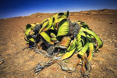 Welwitschia (Welwitschia mirabilis) endemic to Namibia, Namib Desert