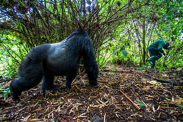 Mountain gorilla (Gorilla gorilla beringei) dominant silverback Akarevuro completely drunk due to the consumption of new bamboo stems which cause a fermentation in their stomach, leading to unpredicta...