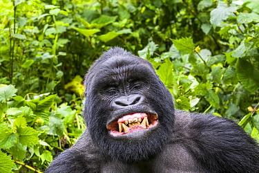 Mountain gorilla (Gorilla gorilla beringei) silverback Gihishamwotsi displaying, non group dominant, Sabyinyo Group, Volcanoes National Park, Virunga Mountains, Rwanda