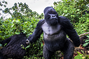Mountain gorilla (Gorilla gorilla beringei) dominant silverback Akarevuro completely drunk due to the consumption of new bamboo stems which ferment in the stomach,  Kwitonda Group, Volcanoes National...