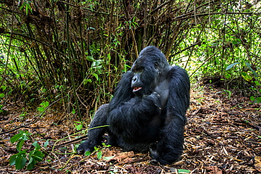 Mountain gorilla (Gorilla gorilla beringei) dominant silverback Akarevuro completely drunk due to the consumption of new bamboo stems which ferment in the stomach, Kwitonda Group, Volcanoes National P...