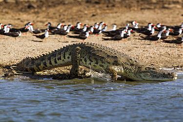 Nile crocodile (Crocodylus niloticus) entering water with African black skimmers (Rynchops niger) in background, Lake Albert, Uganda