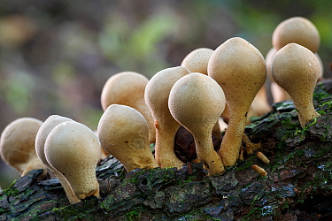 Stump puffball (Lycoperdon pyriforme) growing on rotting branch, Cumbria, UK, October.