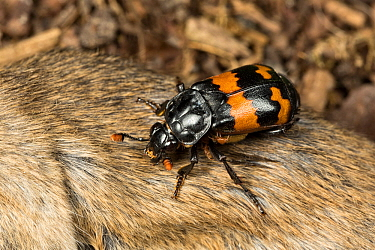 Sexton beetle (Nicrophorus investigator) on a dead mouse. Drumnadrochit, Inverness, Scotland, UK, August. (The mites that can be seen are using the beetle to carry them to food; they do not parasitise...