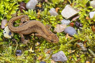 Smooth newt, (Lissotriton vulgaris) female, terrestrial phase.  Sheffield, August.