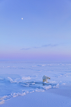 Polar Bear (Ursus maritimus) on icefield with moon in late winter,  Svalbard, Spitsbergen, Norway, April