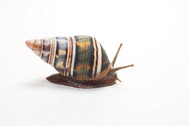 Land snail / Tree snail (Liguus fasciatus achatinus), Cuba