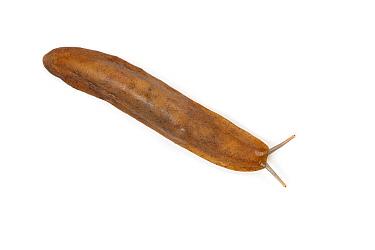 Pancake slug (Veronicella sloanei) captive from Central America