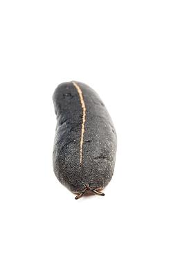 Pancake slug (Veronicellidae altae) Martinique