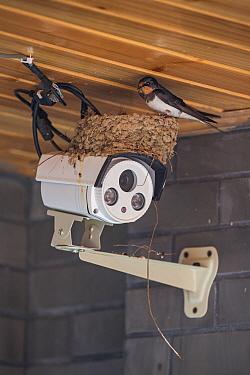 Barn swallow (Hirundo rustica) nesting on top of a security camera, Chengdu, China, April.