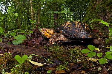 Eastern box turtle (Terrapene carolina carolina), Pickens, South Carolina, USA, May.