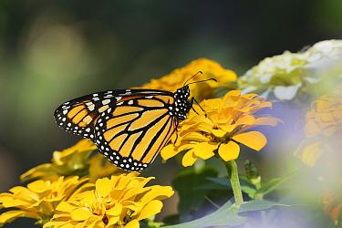 Monarch (Danaus plexippus), adult feeding on Zinnia flower, Hill Country, Texas, USA. October