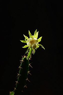 Night-blooming cereus cactus (Acanthocereus tetragonus), flower bud opening at night, Texas, USA. Sequence 2 of 7. August