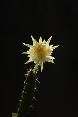 Night-blooming cereus cactus (Acanthocereus tetragonus), flower bud opening at night, Texas, USA. Sequence 4 of 7. August