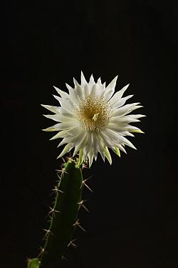 Night-blooming cereus cactus (Acanthocereus tetragonus), flower bud opening at night, Texas, USA. Sequence 6 of 7. August