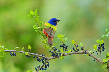 Painted Bunting (Passerina ciris), adult male perched on Elbow bush (Forestiera pubescens) with berries, Hill Country, Texas, USA. May