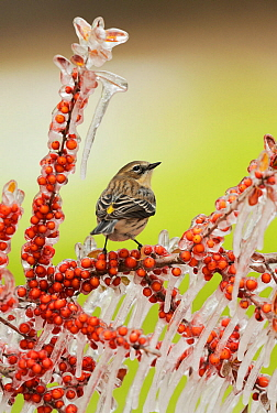 Yellow-rumped Warbler (Dendroica coronata),  adult perched on icy branch of Yaupon Holly (Ilex vomitoria) with berries, Hill Country, Texas, USA. February