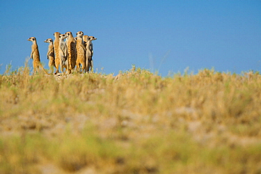 Alarmed by the presence of a predator, a group of meerkats (Suricata suricatta) or suricates, stand together on high ground to survey their territory on the edge of Makgadikgadi Pans National Park, Bo...