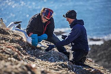 Seabird researcher disentangling Northern gannet (Morus bassanus) nesting among marine litter, Grassholm Island, Wales, UK. October