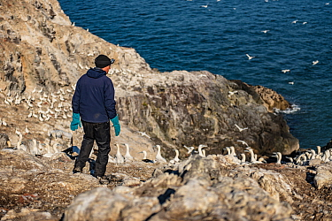 Seabird researcher approaching Northern gannet (Morus bassanus) colony, Grassholm Island, Wales, UK. October