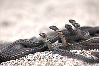 Galapagos racer snakes  (Pseudalsophis biserialis) group alert watching  for prey on beach, Galapagos, June. Endangered species. Taken on location for BBC tv Blue Planet 2 series