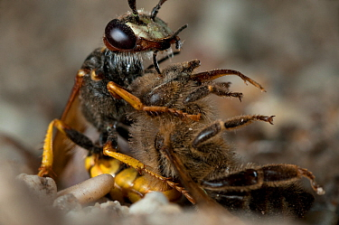 European beewolf (Philanthus triangulum) injecting bee with paralysing agent, Budapest, Hungary