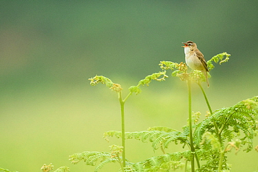 Sedge warbler (Acrocephalus schoenobaenus) perched on Bracken singing, Islay, Scotland