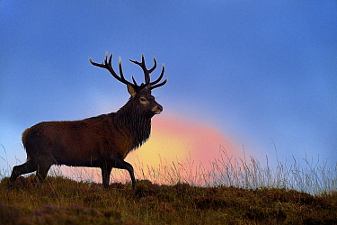 Red deer (Cervus elaphus) male stag silhouetted at dusk, rut season, Jura, Scotland, UK, September
