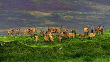 Red deer (Cervus elaphus) herd of female does and young, Jura, Scotland, UK, September