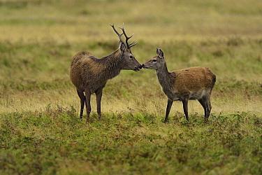 Red deer (Cervus elaphus) male stag smelling female doe, part of his harem, rut season, Jura, Scotland, UK, September