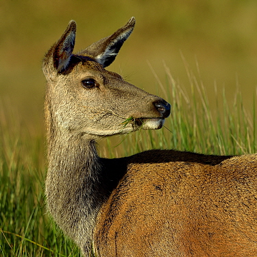 Red deer (Cervus elaphus) female portrait, Jura, Scotland, UK, September