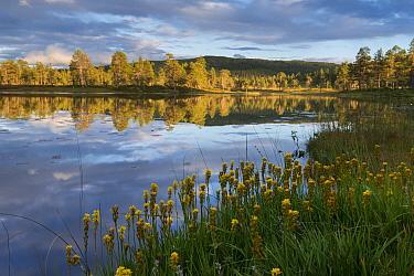 Bog asphodel (Narthecium ossifragum) in Brungmarka. The mountain Brungfjellet is reflected in lake Blstertjonnin. Norway August