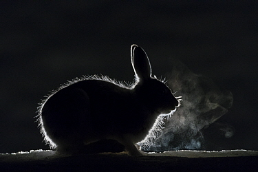 Mountain hare (Lepus timidus) breath backlit during cold night, Vauldalen, Norway May