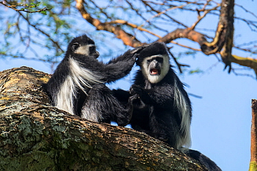 Two Guereza colobus monkeys (Colobus guereza) grooming, Lake Naivasha, Kenya.