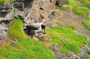 Light mantled sooty albatross (Phoebetria palpebrata) at nest with day old chick, Enderby Island, Auckland Island Group, New Zealand Subantarctic, January