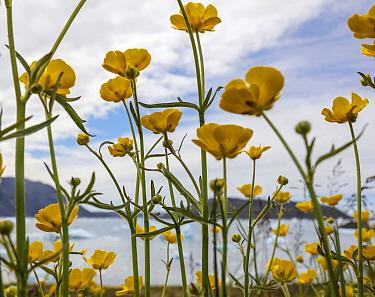 Madow buttercup (Ranunculus acris) Narsaq, Greenland, July.