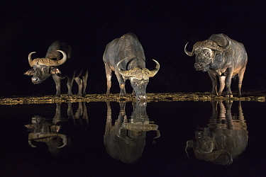 Cape buffalo (Syncerus caffer) drinking at waterhole at night, Zimanga private game reserve, KwaZulu-Natal, South Africa, September