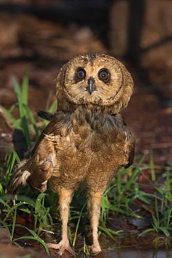 African wood owl (Strix woodfordii). Chobe National Park, Botswana. September.